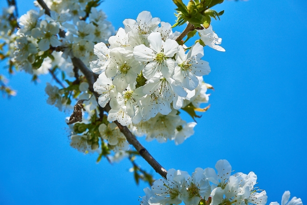 Kirschbaumblüte im Frühling