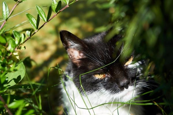 Katze schwarz-weiß im Garten