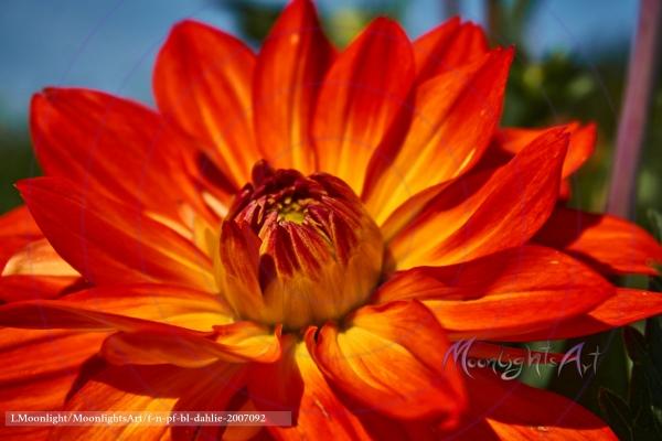 Dahlienblüte Orange Gelb