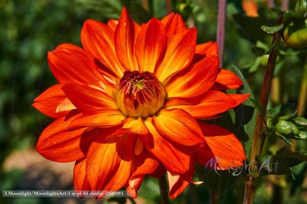 Dahlienblüte Orange Gelb im Morgenlicht