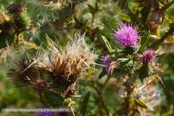 Distel - Acker-Kratzdistel (Cirsium arvense) - Blüte und Pappus