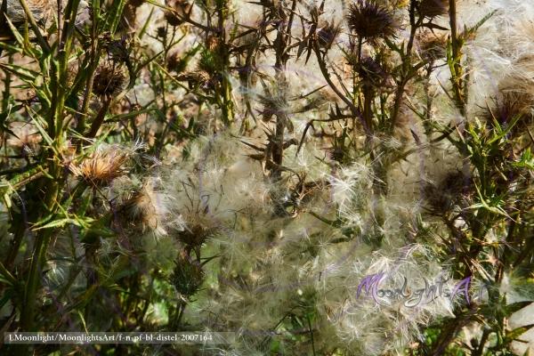 Distel - Acker-Kratzdistel (Cirsium arvense) - Strauch - Achäne mit Pappus