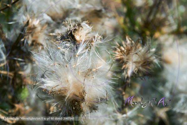 Distel - Acker-Kratzdistel (Cirsium arvense) - Pappus