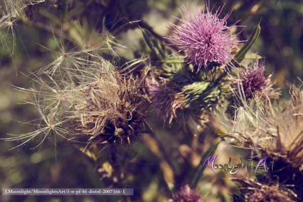 Distel - Acker-Kratzdistel (Cirsium arvense) - Pappus und Blüte