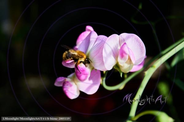Honigbiene an einer Platterbse beim Nektar sammeln