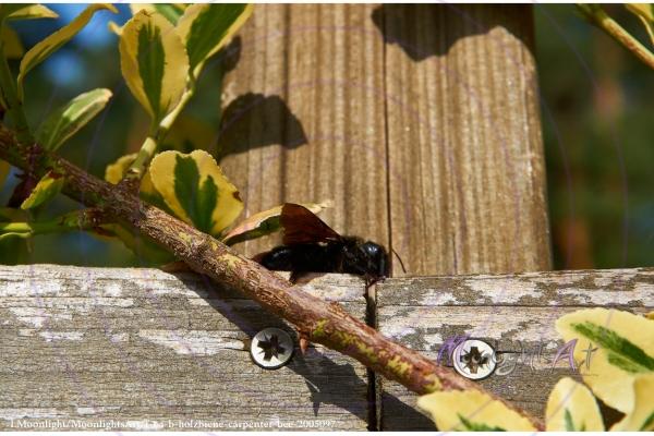 Holzbiene sitzt auf einem Brett