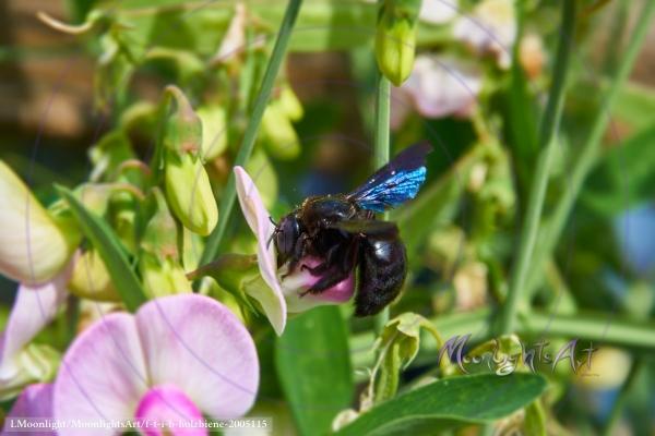 Holzbiene sammelt Nektar - Seitenansicht