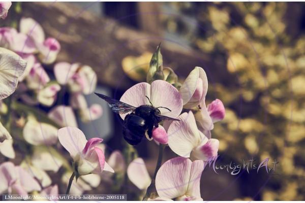 Holzbiene sammelt Nektar an der Blüte einer Platterbse