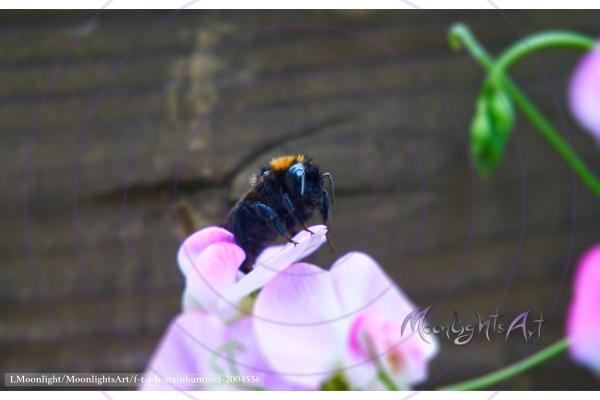 Steinhummel erholt sich auf der Blüte einer Platterbse