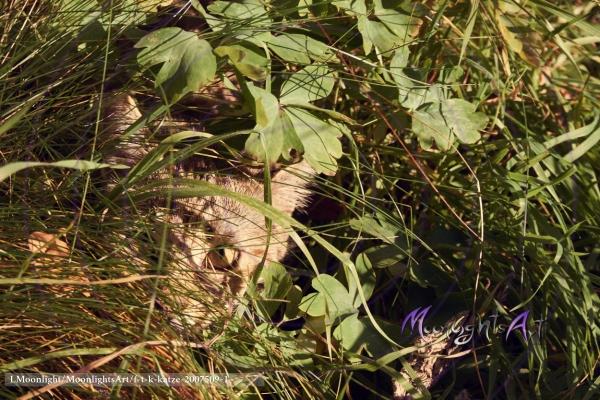 Haustier - Katze - getigert - versteckt sich im hohen Gras