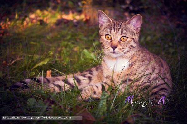 Haustier - Katze - getigert - hört etwas - Jagdtrieb erwacht